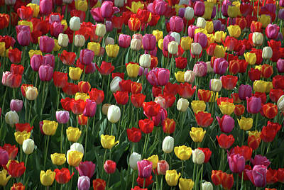 Photograph - Kansas Spring Tulips by Tim McCullough