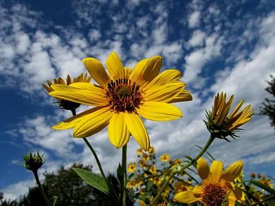 Kansas Sunflower Art Print by Ed Golden
