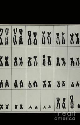 Karyotype Of Male Chromosomes Print by Omikron