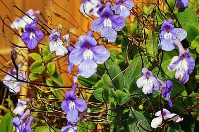 Photograph - Kathy's Violets From Australia by Kelly Nicodemus-Miller