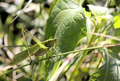 Photograph - Katydid by Katherine White