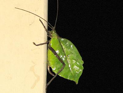 Photograph - Katydid by Keith Stokes