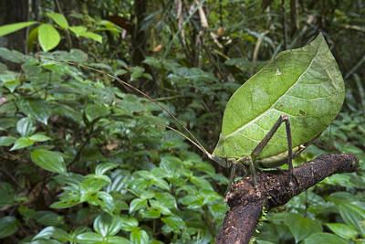 Mar2613 Photograph - Katydid Mimicking Green Leaf Guyana by Piotr Naskrecki
