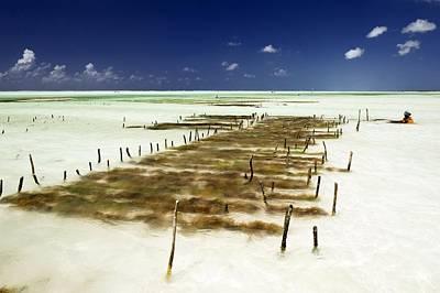 Livelihood Photograph - Kelp Farming, Zanzibar by Tony Camacho
