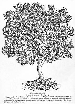 Kermes Oak Tree Art Print by Granger