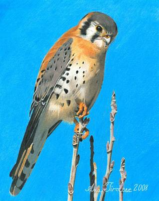 Print featuring the drawing Kestrel by Ana Tirolese