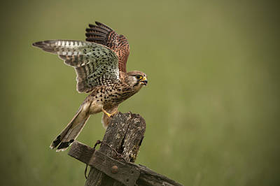 Without People Photograph - Kestrel by Andy Astbury