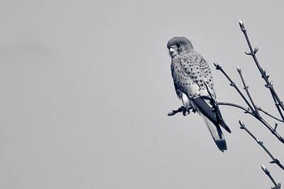 Photograph - Kestrel by Justin Albrecht