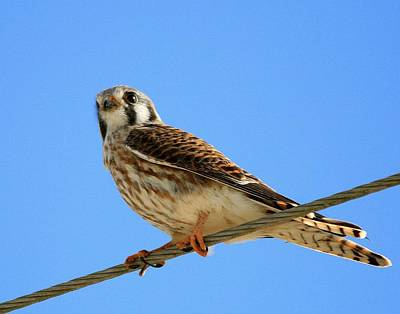 Photograph - Kestrel On A Wire by Ira Runyan