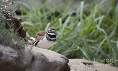 Photograph - Kildeer by Jim And Emily Bush