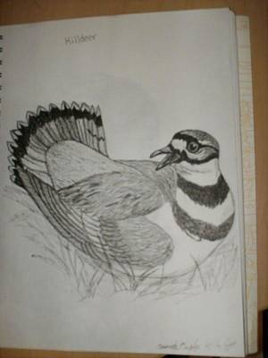 Killdeer Drawing - Killdeer by Amanda  Conner