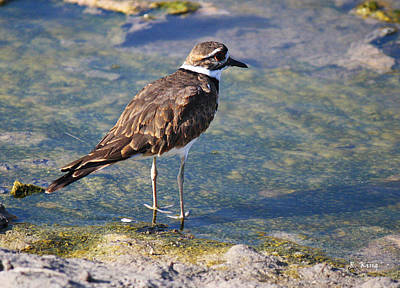 Photograph - Killdeer In Clear Water by Roena King