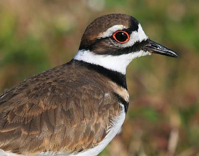 Photograph - Killdeer by Ira Runyan