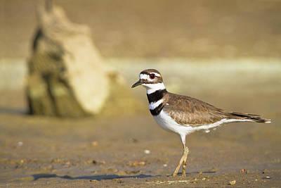 Birds Photograph - Killdeer On The Shore by Steven Llorca