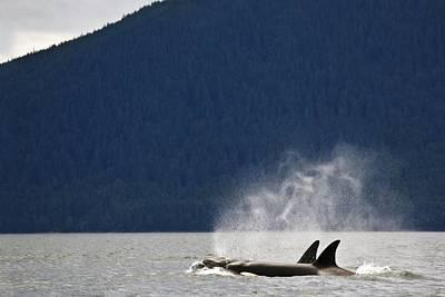 Killer Whales, Alaska, Usa Art Print by Richard Wear