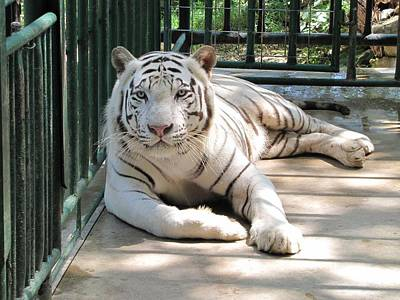 Photograph - Kimar The White Tiger by Keith Stokes