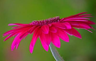 Gerber Daisy Photograph - Kindle by Melanie Moraga