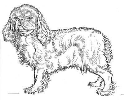 Drawing - King Charles Spaniel by David Burkart