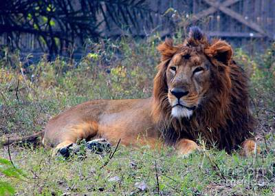 Babar Sher Photograph - King Of Zoo by Rajinder Wadhwa