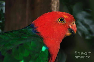 Photograph - King Parrot - Male 2 by Kaye Menner