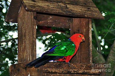 Photograph - King Parrot - Male by Kaye Menner