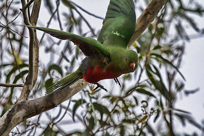 King Parrot Photograph - King Parrot In Flight by Douglas Barnard