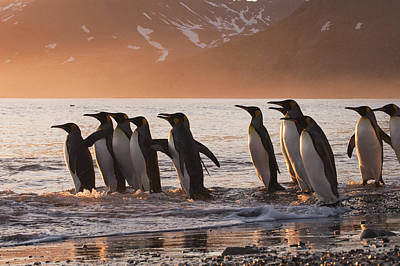 Photograph - King Penguins Going To Sea St Andrews by Flip Nicklin