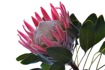 King Protea. Art Print