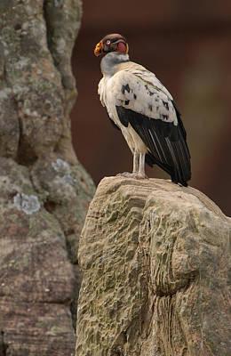 King Vulture Sarcoramphus Papa Perched Art Print by Pete Oxford