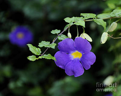 Photograph - King's Mantle - Thunbergia by Nancy Greenland