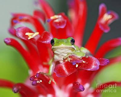Kiss A Prince Frog Art Print by Luana K Perez