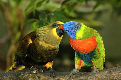 Parakeet Photograph - Kissing Birds by Carolyn Marshall