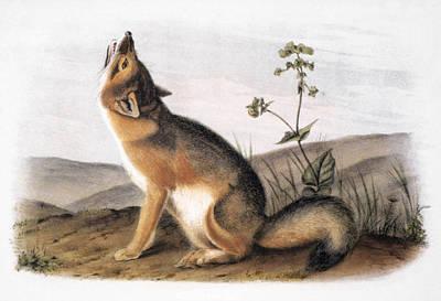 Photograph - Kit Fox (vulpes Velox) by Granger