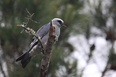 Mississippi Kite Photograph - Kite With Lunch by Isaac Green