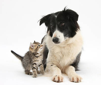 Herding Dog Photograph - Kitten & Border Collie by Mark Taylor