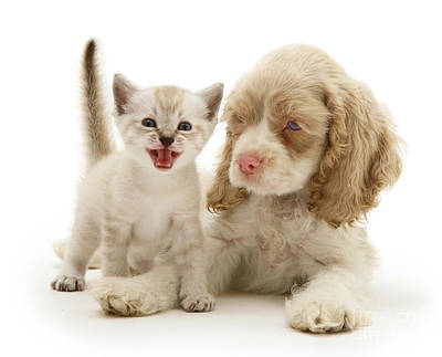 American Shorthair Photograph - Kitten And Cocker Spaniel Puppy by Jane Burton