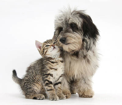 Photograph - Kitten And Daxie-doodle Puppy by Mark Taylor