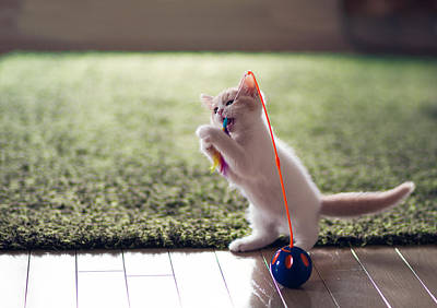 Y120817 Photograph - Kitten Catches Feather Toy by Benjamin Torode