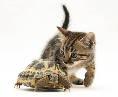 Photograph - Kitten Inspecting Tortoise by Jane Burton