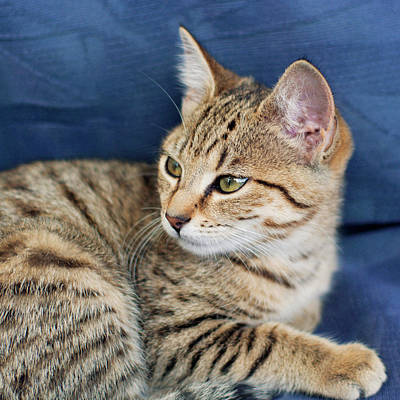Tabby Photograph - Kitten by Jill Ferry