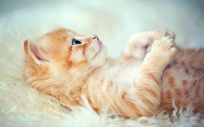 Persian Cat Photograph - Kitten Lying On Its Back by Susan.k.