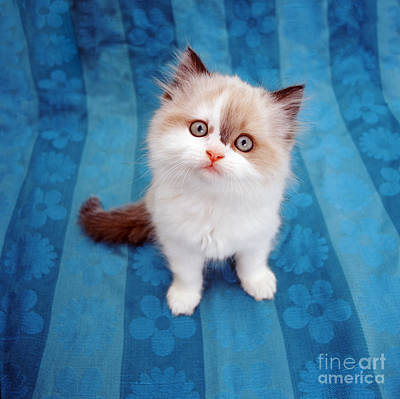 Animal Portraiture Photograph - Kitten On Blue Cloth by Jane Burton
