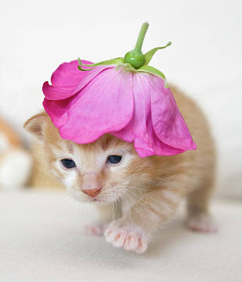 Single Flower Photograph - Kitten Walking With Flower Hat by Sanna Pudas