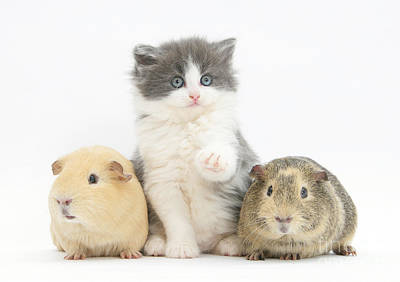 Cavy Photograph - Kitten With Guinea Pigs by Mark Taylor