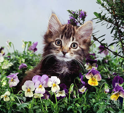 Animal Portraiture Photograph - Kitten With Pansies by Jane Burton