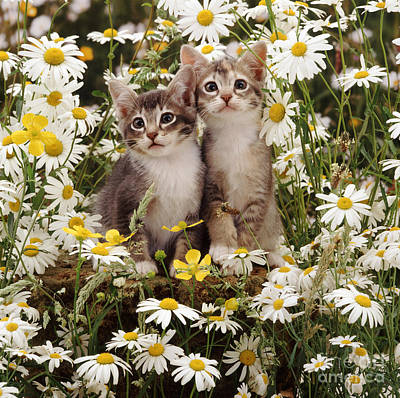 Animal Portraiture Photograph - Kittens Among Daisies by Jane Burton