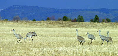 Photograph - Klamath Sandhill Cranes by Cindy Wright