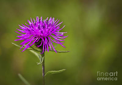Photograph - Knapweed Flower by Clare Bambers