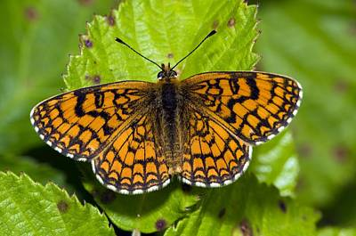 Knapweed Photograph - Knapweed Fritillary Butterfly by Paul Harcourt Davies