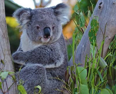 Photograph - Koala-2 by Harry Strharsky